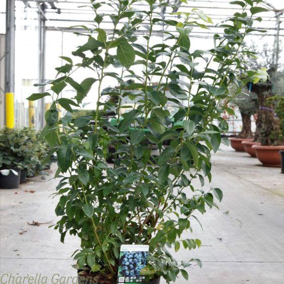 Large Blueberry Plants Blueberry Duke. 10 Llitre