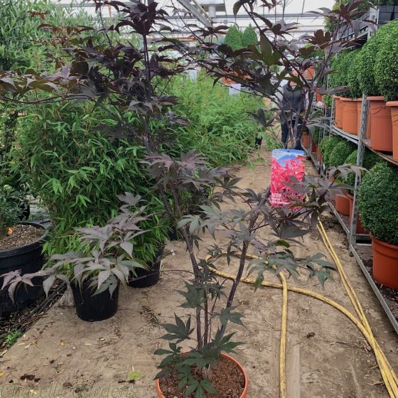 Large Acer Palmatum Red Emperor By Charellagardens.
