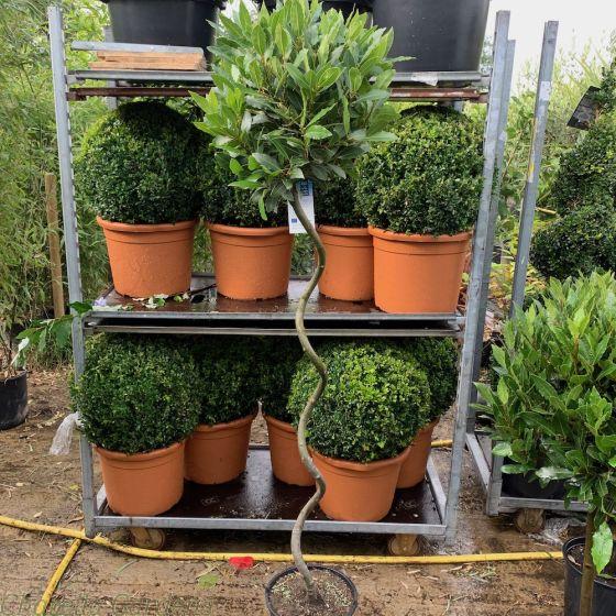 Spiral Stem Bay Trees For Sale Full Standard 120cm stem.