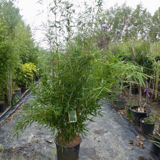 Bamboo Fargesia Robusta Campbell 25 Litre.