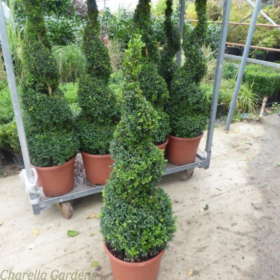 Buxus Spiral Plants Large 125cm Tall. 12 Litre Pot