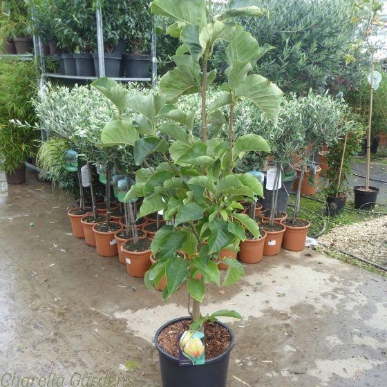 Magnolia Sunsation by Charellagardens.