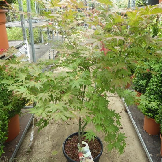 Large Acer palmatum Ariadne 20 Litre