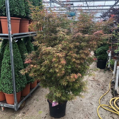 Acer Palmatum Jerre Schwatrz Large 20 Litre Pot.
