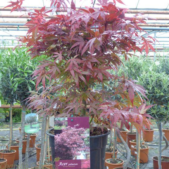 Acer Palmatum Japanese Maple Atropurpureum 3 Litre - Delivery by Charellagardens.