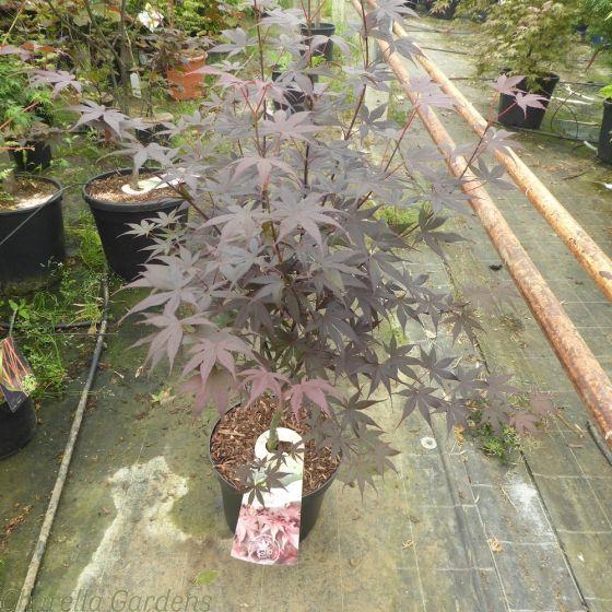 Acer Palmatum Bloodgood Large 7.5 Litre