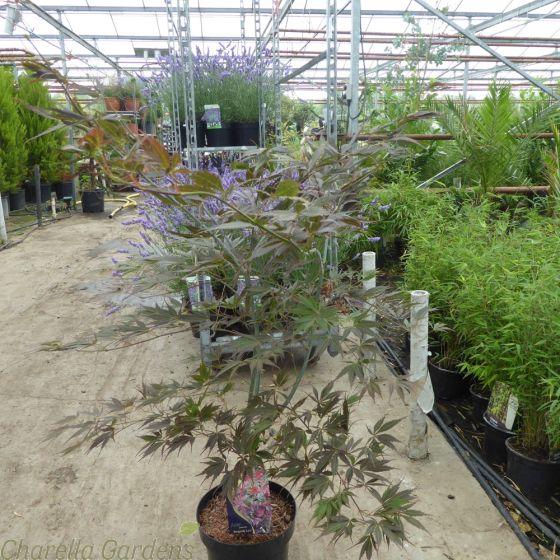 Acer Palmatum Burgundy Lace 5 Litre.