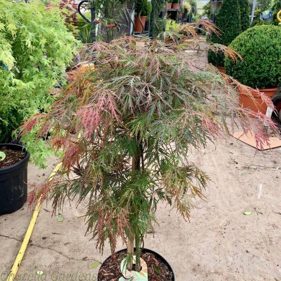 Acer Palmatum Garnet by Charellagardens
