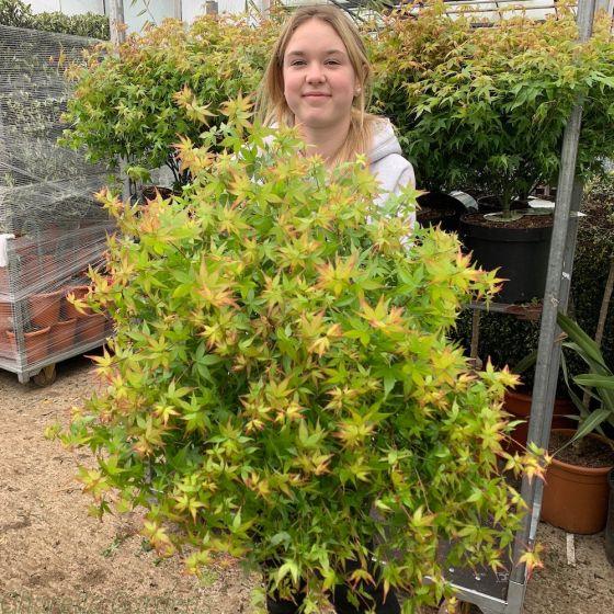 Acer Palmatum Plant Little Princess  7.5 Litre - Beautiful