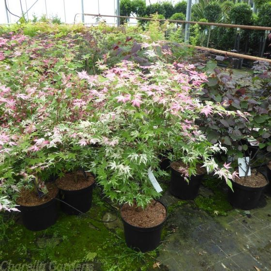 Acer Palmatum Oridoni Nishiki Large Established Plants in 10 Litre Pots