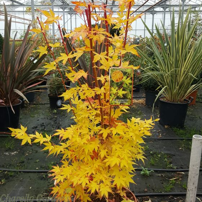 Acer Palmatum Sango Kaku. Large plants pictured late October 2016.