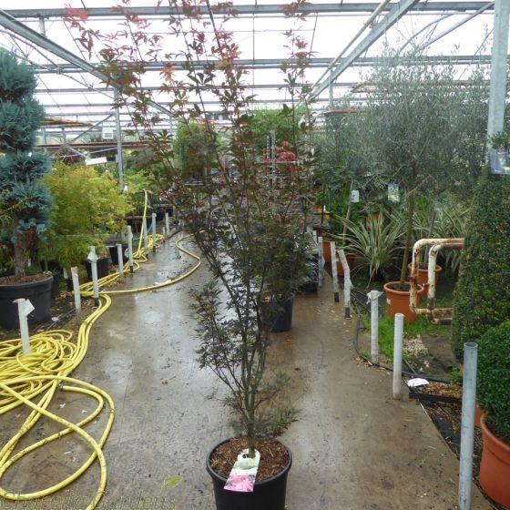 Acer Palmatum Skeeters Broom Large 20 Litre