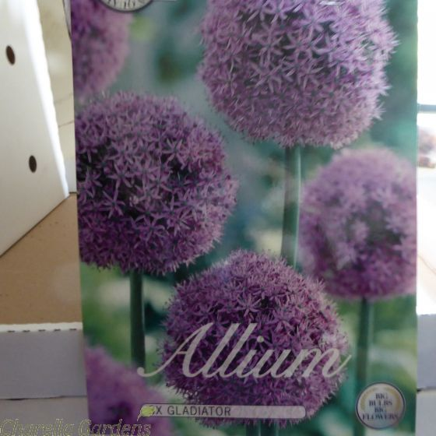 Large Allium Gladiator Bulbs Size 20/24 x 3