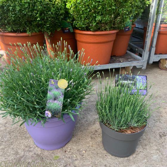 Large Lavender Plants, Angustifolia Hidcote 5 and 10 litre pots.