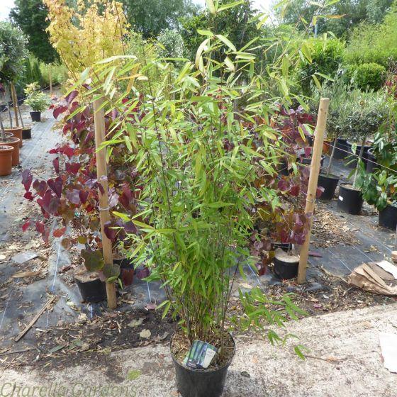 Non Invasive Black Bamboo plants. Bamboo Fargesia Black Dragon 10 Litre.