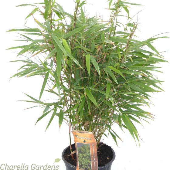 Bamboo Fargesia Rufa 3 Litre by Charellagardens
