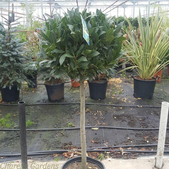 Half Standard Bay Trees 35-40cm Head