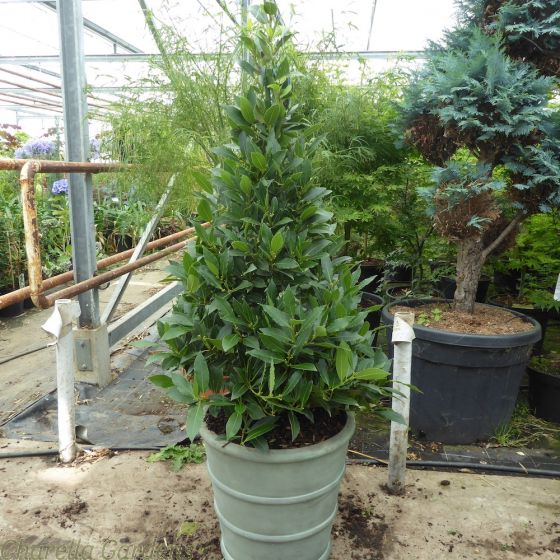 Bay Tree pyramid in our new Tall Mayfair Planter