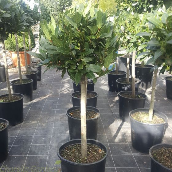 1/4 Standard Bay Trees for sale 95-100cm tall. Delivery by Charellagardens