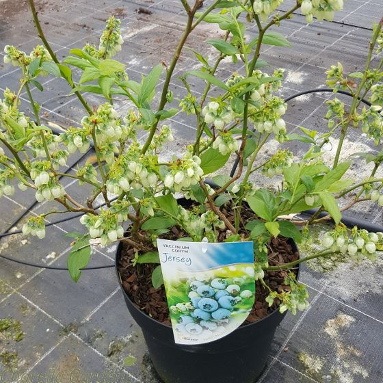 Jersey Blueberry Plants 7.5 Litre - May 2016
