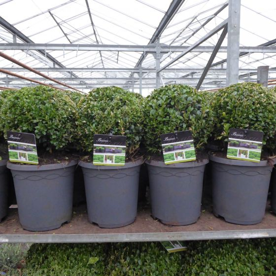 Buxus Box Ball Plants 20cm 3 Litre pot by Charellagardens