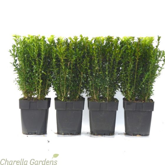 Established 2 litre Pot Grown Buxus Hedging Plants by Charellagardens.