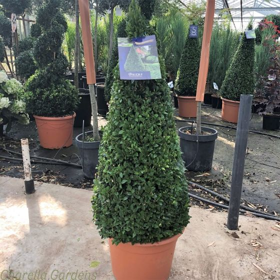 Buxus Pyramid 60cm+. Delivery by Charellagardens