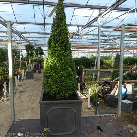 Ready Potted Buxus Cones actual plants 90cm+. 38cm Chelsea Planter.