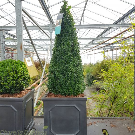 Reday potted 70cm+ Buxus Pyramid cone. In 32cm Chelsea Planter