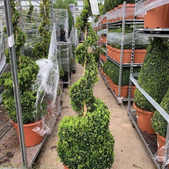 Extra Large Buxus Spiral Plant 140/150cm. 25 Litre
