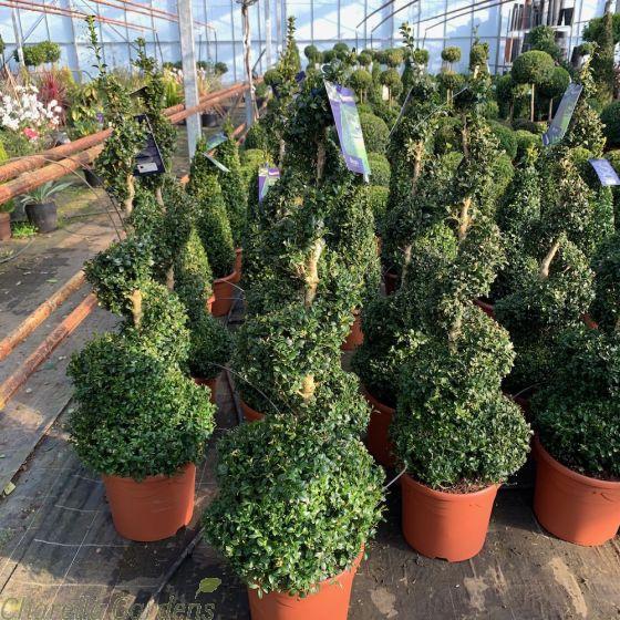 Buxus Spiral Plants Large 110-120cm. 20 Litre