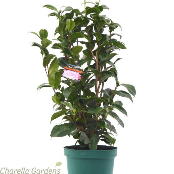 Cordyline Australis Red Star - Established Plants in a 7 litre pot.