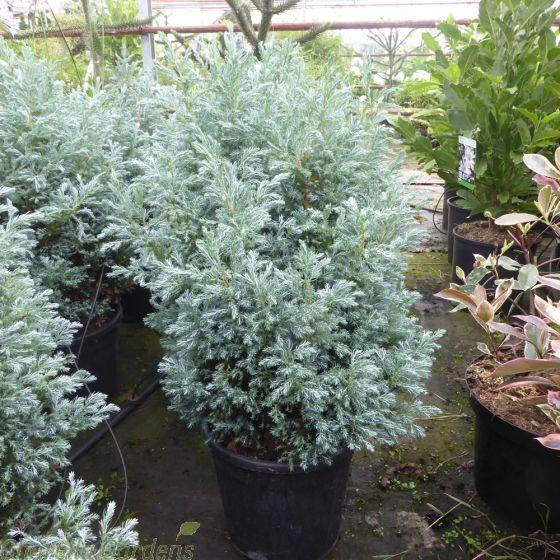 Chamaecyparis Pisifera Baby Blue Large Established Plants in 10 litre pots