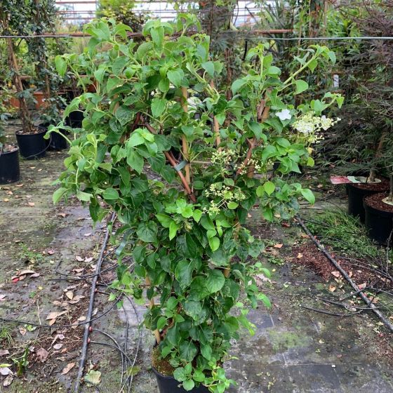 Climbing Hydrangea Plants. Hydrangea Petiolaris.
