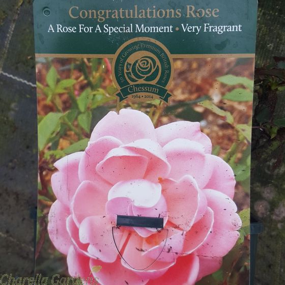 Congratulations Rose - British Celebration Rose