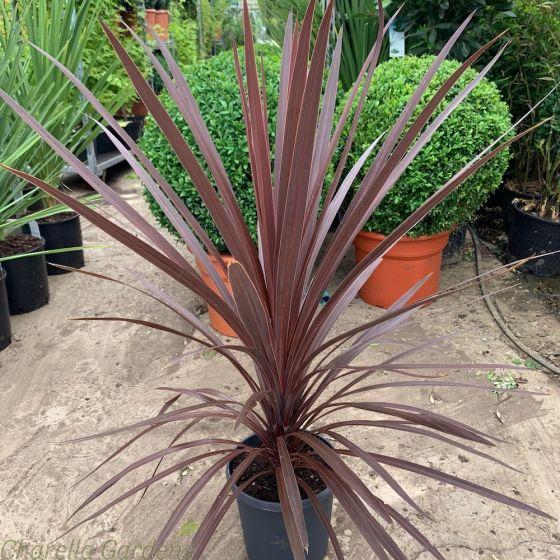 Cordyline Red Star - Established Plants in a 4 litre pot.