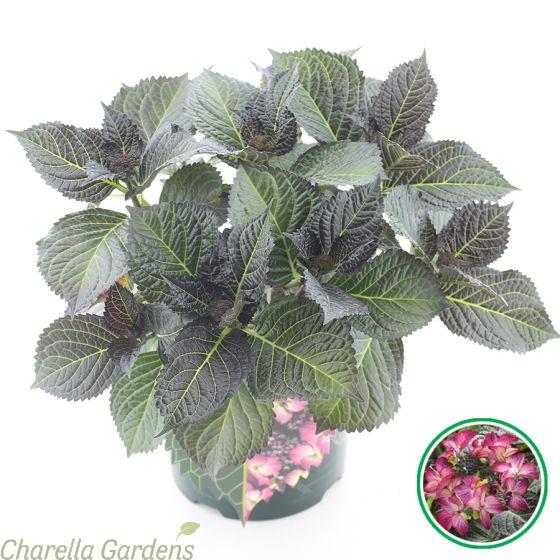 Hydrangea Macrophylla Dark Angel Purple 5 Litre