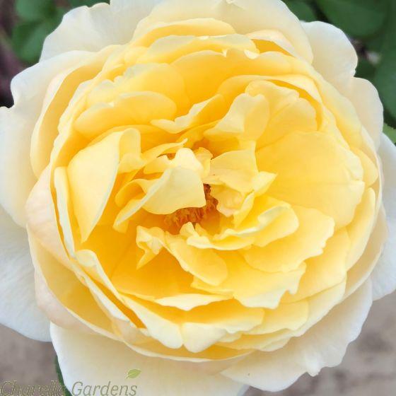 Standard English Garden Rose, Rose Charlotte.