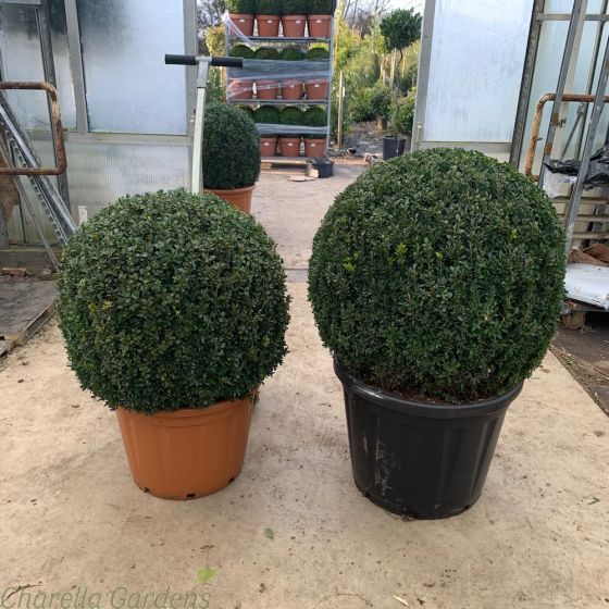 Extra Large Buxus Balls 70/80cm or 80/90cm.