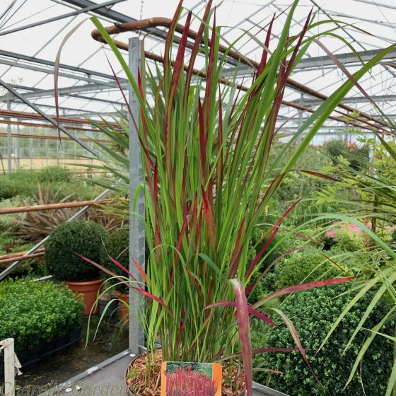 Imperata Cylindrica Red baron. Large Plants in a 5 litre pot.