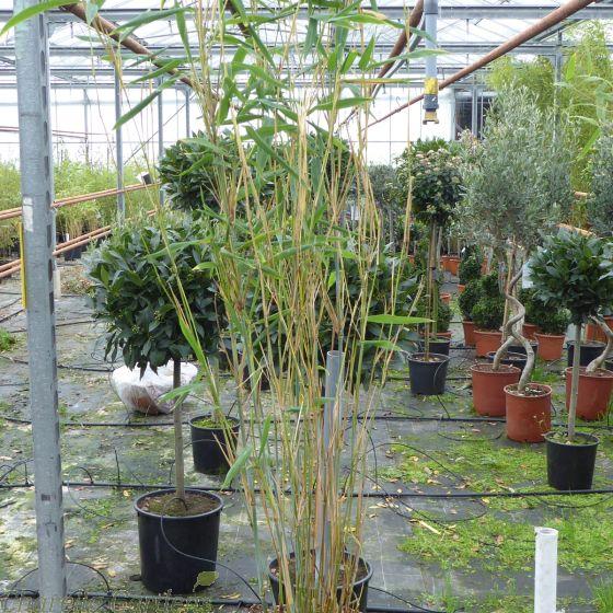 Bamboo Fargesia Blue Dragon 5 Litre. Bamboo For sahde