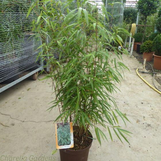 Bamboo Fargesia Asian Wonder 5 Litre