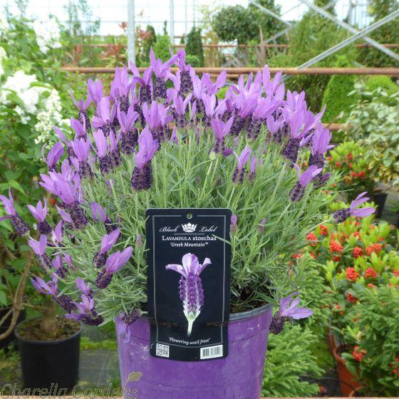 Lavender Stoechas Anouk Greek Mountain - 3 Litre