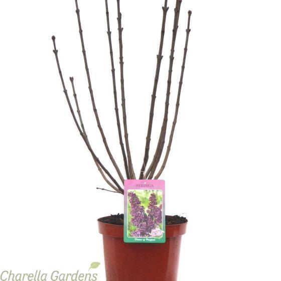 Syringa Vulgaris Lilac Tree Ludwig Spath