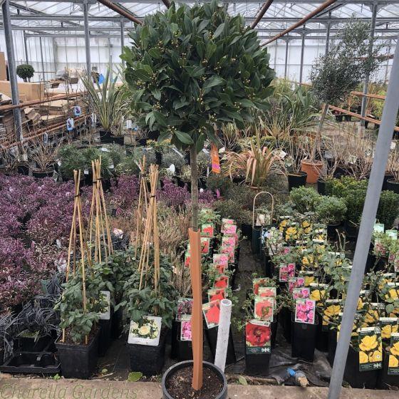 Full Standard Bay Trees 160/170 cm tall. Head size 45-50