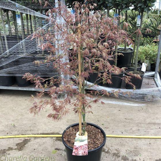 Acer Palmatum Garnet Large 20 Litre - March 2019