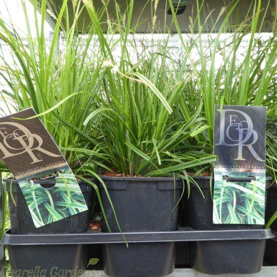 Carex Everlime