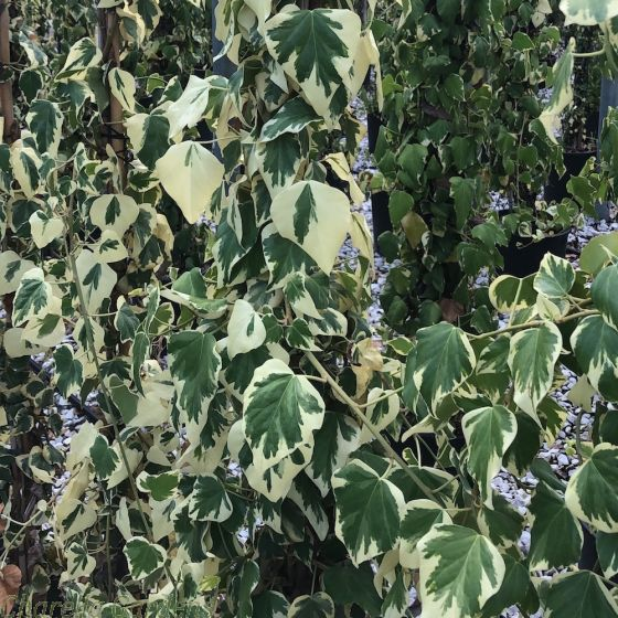 Large Variegated Climbing Ivy 'Hedera Colchica Dentata' 2 Metres
