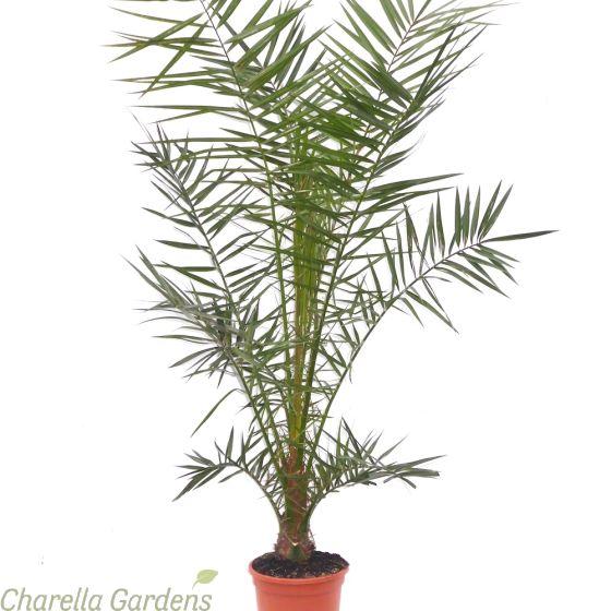 Canary Palm tree. Phoenix Canariensis upto 140cm tall.