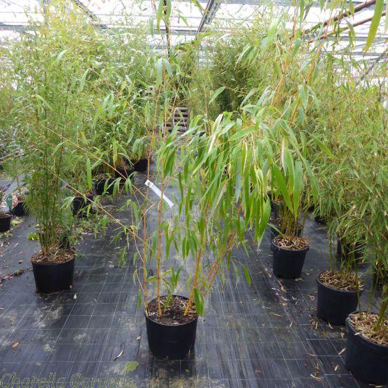 Bamboo Vivax Aureocaulis 15 Litre by Charellagardens